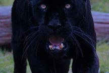 FELINI / Animali