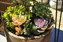 Succulents / A mixture of succulents in a pot
