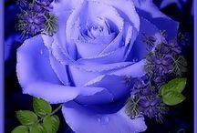 Blue Roses / Lindas e raras rosas azuis