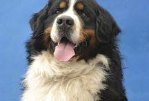 My love Mountain Bernese Dog / Dog