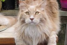 Cats - Maine Coons