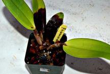 como tratar de suas orquídeas