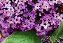 HELIOTROPE | HELIOTROPIUM / Heliotropium, is a genus of flowering plants in the borage family, Boraginaceae. There are 250 to 300 species in this genus, which are commonly known as heliotropes. Wikipedia
