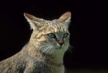 Felix lybica, African wild cat / Katana and friends