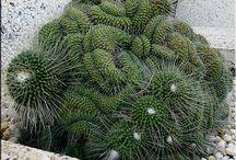 Crestadas / Cactus y suculentas crestadas, variegadas o monstruosas