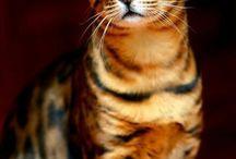 Bengal / Savannah katte