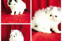 Precious and Penelope Kittens / Precious and Penelope had kittens on 1-13-17 and they will ready for their furrever home in March