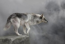 LIFE: Canidae - wolf-dog-fox family / Arctic wolves arctic foxes and Greenlandic sled dogs have their own boards...