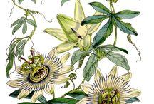 Botanic illustrations - mostly pre 1923 / for print