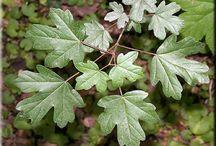 Dendrológia, lombhullató növények