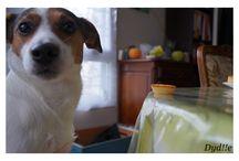 Mon amour ! ♥ / ♥Fét!che♥ 02/11/2010 - Mon Jack Russell Terrier : ♥ Mon petit coeur d'amour, mon bébé, ma vie, mon enfant, mon chien que j'aime. ♥