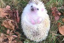 Hedgehogs,jeżyki....