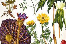 Ilustrações botânicas