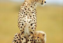 Animaux félins / Panthères, guépards, léopards, pumas, lynx, ocelots, tigres, lions, chats sauvages...