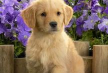Regis / Khloe's golden retriever puppy.