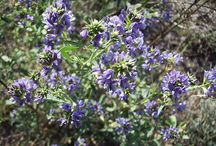 Alfalfa (Medicago sativa) / All things related to Alfalfa