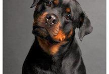 Rottweilers / My love of Rottweilers