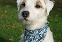 Parson Russell Terriers / I adore...