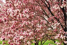 Flowering Trees (need to tolerate zone 3)