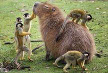 Kapibara / Dünyanın en büyük kemirgen türü olan bazen dev guinea domuzu adı verilen capybara, Güney Amerika'nın bir bölümünden geliyor ve boyu 1,3 metreye kadar çıkabiliyor.