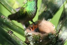 Kolibrie/hummingbird
