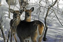Animals - Wildlife / Animals and wildlife in Canada