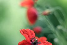 Poppies / Another favourite bloom
