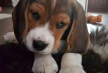 Zorka / Beautiful Beagle baby