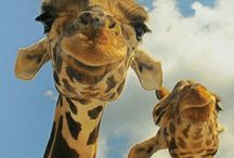 Giraffes / Wanna Neck?