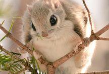 モモンガ【 Flying squirrel】