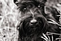 Scottish Terrierists / For the Scottie lovers from all over the world. Because we know Scotties are the best dogs ever!!