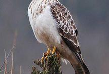 Roofvogels Nederland