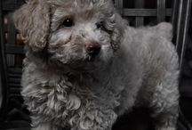 Dogs of Pinterest