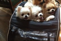 Love of my Life / Pomeranians ❤️