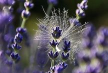 Smell the Lavender ! / I love lavender so what better than to pin it on here ?