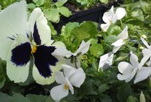 Flowering Plants / Pictures around the nursery of our flowering plants.