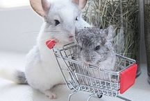 Chinchillas!!