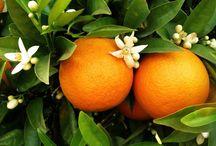 Néroli ou Fleur d'oranger / Le bigaradier est un petit arbre au feuillage toujours vert. Le fruit est une baie plus particulièrement un agrume amer et acide. (M.Faucon)