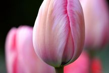 Tulips...and other flowers&plants / I Love tulips, so simple and beautifull...