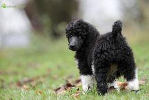 Harlekin * Elsje * / my poodle - my princess