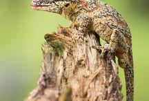 Reptile - Melata