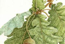 Botanical Artist /  Botanical Artist