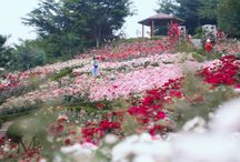Korea -  Summer Flower Festival