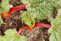 Growing - Rhubarb