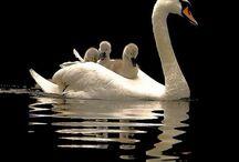 Down Swan