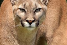 the most beautiful face in the world / puma=mountain lion=panther
