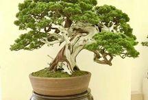 mi bonsai