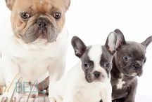 Dogs, Bulldogs, english and french 1.