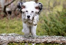 My favourite English setter photos