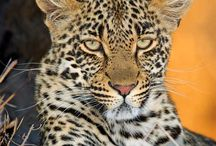 Thandi (Female leopard) / Thandi  Territorial female of the far east region Born February 2007 (litter mate of Shadow) Mother to +- 2 cubs (born January 2011), daughter of Karula Spot pattern is 3/3